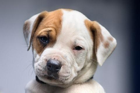 Hundediabetes